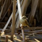 Australian reed warbler. Adult. Melbourne. Image © Sonja Ross by Sonja Ross