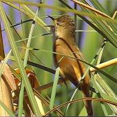 Australian reed warbler. Adult male singing (first New Zealand occurrence). St Anne's Lagoon, Cheviot, November 2004. Image © Alan Shaw by Alan Shaw