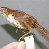 Chatham Island fernbird. Specimen in Canterbury Museum (AV2682). Chatham Islands (probably Mangere Island). Image © Colin Miskelly by Colin Miskelly