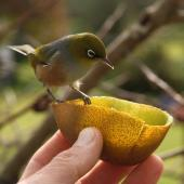 Silvereye. Coming to hand-held kiwifruit. Three Kings, Auckland, July 2010. Image © Eddie van Uden by Eddie van Uden