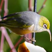 Silvereye. Adult with abnormally long beak. Atawhai,  Nelson, June 2020. Image © Paul Griffiths by Paul Griffiths