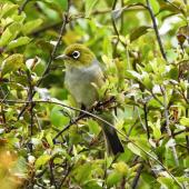Silvereye. Adult. Pohara, Golden Bay, January 2017. Image © Ralf Wendt by Ralf Wendt