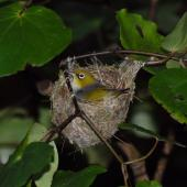 Silvereye. Bird incubating. Wellington, January 2007. Image © Peter Reese by Peter Reese