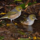 Silvereye. Pair bathing. Wellington, December 2007. Image © Peter Reese by Peter Reese