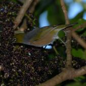Silvereye. Adult feeding on pate berries. Wellington, June 2009. Image © Peter Reese by Peter Reese