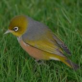 Silvereye. Bird feeding on ground showing back. Wairarapa, June 2010. Image © Peter Reese by Peter Reese