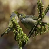 Silvereye. Adult (left) feeding fledgling. Upper Hutt, November 2014. Image © Toya Heatley by Toya Heatley http://www.digitalpix.co.nz