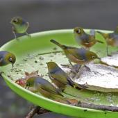 Silvereye. Flock feeding on bird table. St Albans,  Christchurch. Image © Steve Attwood by Steve Attwood http://www.flickr.com/photos/stevex2/