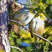 Silvereye. Courtship preening. Te Puke, August 2011. Image © Raewyn Adams by Raewyn Adams