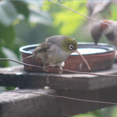 Silvereye. Adult with abnormally long beak. Bluff Hill, Napier, January 2019. Image © Stuart Hall by Stuart Hall