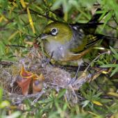 Silvereye. Adult feeding 2 chicks in nest. Sandy Bay, Whangarei, November 2011. Image © Malcolm Pullman by Malcolm Pullman aqualine@igrin.co.nz