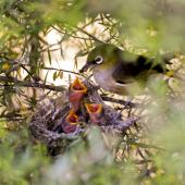 Silvereye. Adult feeding 3 chicks in nest. Sandy Bay, Whangarei, November 2011. Image © Malcolm Pullman by Malcolm Pullman Malcolm Pullman aqualine@igrin.co.nz