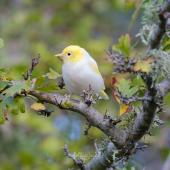 Silvereye. Leucistic adult. Kelburn, Wellington, April 2020. Image © Holly Neill by Holly Neill