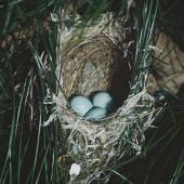 Silvereye. Nest containing 3 eggs. Pukepuke Lagoon, Manawatu, January 1970. Image © Department of Conservation (image ref: 10048172) by John Kendrick, Department of Conservation  Courtesy of Department of Conservation