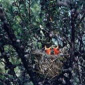 Silvereye. Chicks in nest. Mathiesons Bay, Northland, November 1969. Image © Department of Conservation (image ref: 10048173) by John Kendrick, Department of Conservation Courtesy of Department of Conservation