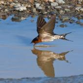 Welcome swallow. Adult taking a drink while flying. Wellington south coast, July 2018. Image © Paul Le Roy by Paul Le Roy