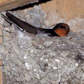 Welcome swallow. Adult on nest. Miranda, November 2008. Image © Peter Reese by Peter Reese