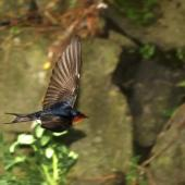 Welcome swallow. Adult in flight showing primaries. Auckland. Image © Eugene Polkan by Eugene Polkan