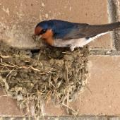 Welcome swallow. Adult building nest. Atawhai,  Nelson, September 2014. Image © Rebecca Bowater by Rebecca Bowater FPSNZ AFIAP www.floraandfauna.co.nz