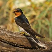 Welcome swallow. Adult. Wanganui, December 2010. Image © Ormond Torr by Ormond Torr