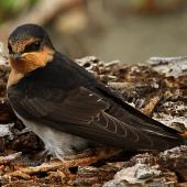 Welcome swallow. Immature. Wanganui, December 2010. Image © Ormond Torr by Ormond Torr