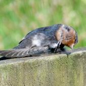 Welcome swallow. Juvenile scratching. Mangere sewage ponds, Auckland, January 2012. Image © Joke Baars by Joke Baars
