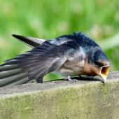Welcome swallow. Juvenile stretching wing and showing yellow gape. Mangere sewage ponds, Auckland, January 2012. Image © Joke Baars by Joke Baars