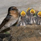 Welcome swallow. Adult bird with chicks (approximately 11 days old). Oratia, January 2017. Image © John and Melody Anderson, Wayfarer International Ltd by John and Melody Anderson Love our Birds® | www.wayfarerimages.co.nz