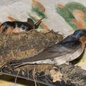 Welcome swallow. Adult pair building nest in culvert. Oratia, December 2016. Image © John and Melody Anderson, Wayfarer International Ltd by John and Melody Anderson Love our Birds® | www.wayfarerimages.co.nz