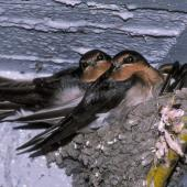 Welcome swallow. Fledglings on nest. , February 1990. Image © Peter Reese by Peter Reese