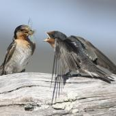 Welcome swallow. Adult feeding cicada to juvenile. Manawatu River estuary, March 2010. Image © Phil Battley by Phil Battley