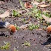 Fairy martin. Three adults gathering mud for nests. Warrumbungle National Park, New South Wales, October 2017. Image © Simon Pelling 2017 birdlifephotography.org.au by Simon Pelling