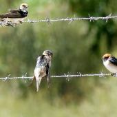 Tree martin. Adult (centre) with fairy martins. Wastewater Ponds, Alice Springs, Australia, September 2015. Image © Alan Tennyson by Alan Tennyson