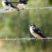 Tree martin. Adult with two fairy martins above. Wastewater Ponds, Alice Springs, Australia, September 2015. Image © Alan Tennyson by Alan Tennyson