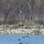 Tree martin. Adult in flight with fairy martin below. Wastewater Ponds, Alice Springs, Australia, September 2015. Image © Alan Tennyson by Alan Tennyson
