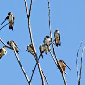 Tree martin. Perched flock. Northern Territory,  Australia, July 2012. Image © Dick Porter by Dick Porter