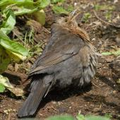 Eurasian blackbird. Adult female sunbathing. Bay of Islands, December 2010. Image © Peter Reese by Peter Reese