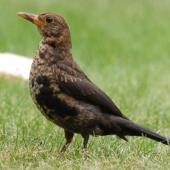Eurasian blackbird. Juvenile male. Auckland, January 2009. Image © Peter Reese by Peter Reese