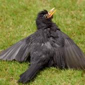 Eurasian blackbird. Adult male sunbathing. Taupo, December 2007. Image © Peter Reese by Peter Reese