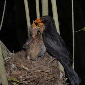 Eurasian blackbird. Adult male feeding chicks at nest. Wellington, November 2007. Image © Peter Reese by Peter Reese