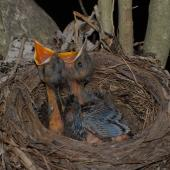 Eurasian blackbird. Nest with two 8-day-old chicks. Wellington, December 2007. Image © Peter Reese by Peter Reese