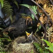 Eurasian blackbird. First-year male (note faded juvenile wing feathers) bringing worms to feed chicks in nest. Levin, December 1980. Image © Albert Aanensen by Albert Aanensen