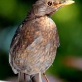 Eurasian blackbird. Adult female. Havelock North, November 2008. Image © Dick Porter by Dick Porter
