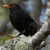 Eurasian blackbird. Adult male in tree. Auckland, November 2010. Image © Philip Griffin by Philip Griffin