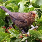 Eurasian blackbird. Adult female. Palmerston North, December 2015. Image © Alex Scott by Alex Scott