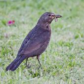 Eurasian blackbird. Female hunting worms in the rain. Te Puke, January 2012. Image © Raewyn Adams by Raewyn Adams