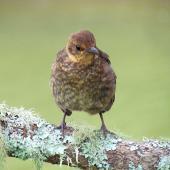 Eurasian blackbird. Juvenile. Warkworth, October 2012. Image © Thomas Musson by Thomas Musson tomandelaine@xtra.co.nz