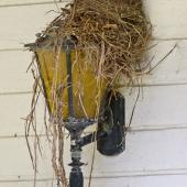 Eurasian blackbird. Female on nest on top of outdoor light. Whitianga, Coromandel Peninsula, December 2005. Image © Neil Fitzgerald by Neil Fitzgerald www.neilfitzgeraldphoto.co.nz