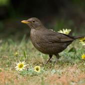 Eurasian blackbird. Female among Cape weed flowers on mown lawn. Christchurch, Canterbury, October 2008. Image © Neil Fitzgerald by Neil Fitzgerald www.neilfitzgeraldphoto.co.nz