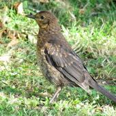 Eurasian blackbird. Juvenile in profile. Ruawai, November 2012. Image © Thomas Musson by Thomas Musson tomandelaine@xtra.co.nz